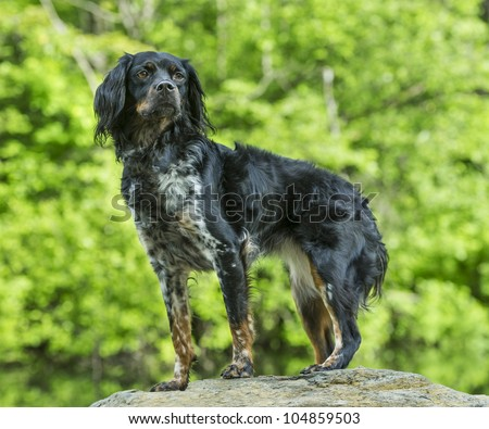 Multicolored French Brittany Spaniel standing on a rock - stock photo
