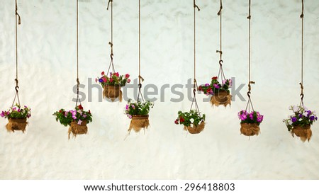 multicolored petunias in the background of a white wall - stock photo