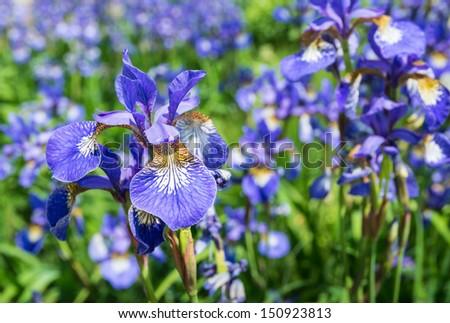 Multicolored Siberian Iris of Iris sibirica blooming in summertime. - stock photo