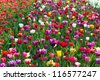 Multicolored tulip field in Holland. Horizontal shot - stock photo