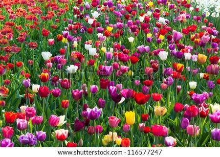 Multicolored tulip field in Holland. Horizontal shot - stock photo