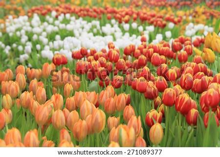 Multicolored tulip flowers field - stock photo