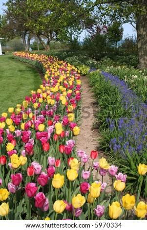 multicolored tulips - stock photo