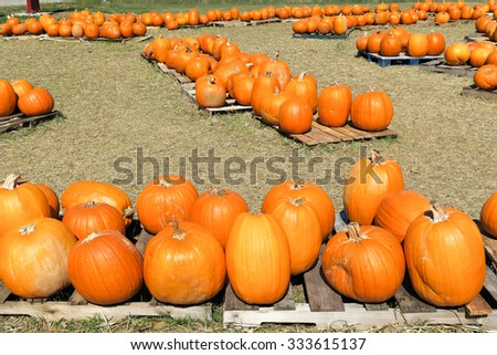 multiple groups of pumpkins - stock photo