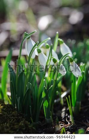 Multiple snowdrops flowering - stock photo