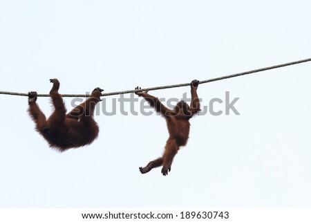 Mum and baby Orangutans - stock photo