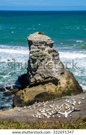 Muriwai Gannet Colony which is located at Muriwai Regional Park.It is on the West Coast of the North Island in Auckland,New Zealand - stock photo