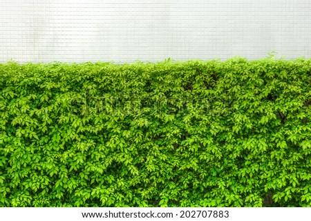 Murraya paniculata tree with white ceramic tiles wall background - stock photo