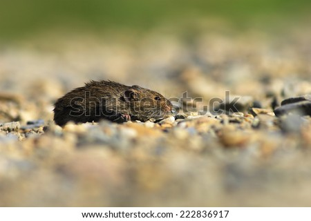 Mus musculus - stock photo