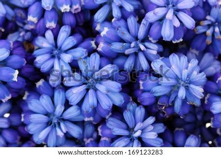 Muscari - hyacinth close-up - stock photo
