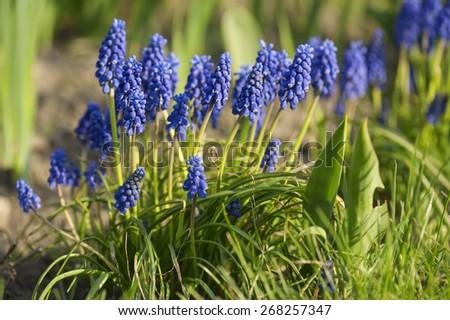 Muscari neglectum flowers in the spring garden - stock photo