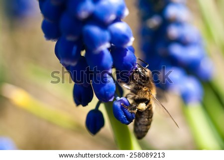 Muscari with honey bee - stock photo