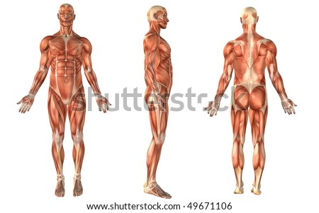 muscle anatomy - stock photo