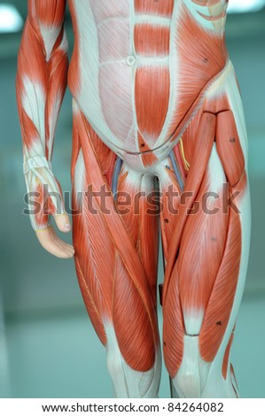 muscle anatomy of human - stock photo