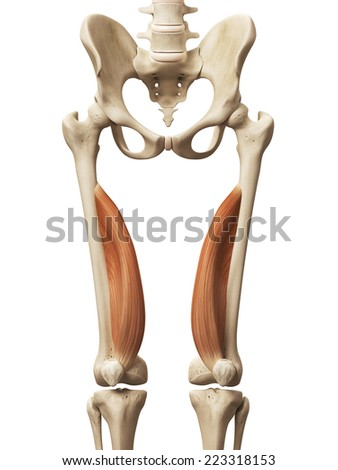 muscle anatomy - the vastus medialis - stock photo