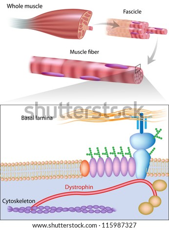 Muscle fiber structure showing dystrophin location. Dystrophin is commonly mutated in muscular dystrophy diseases - stock photo