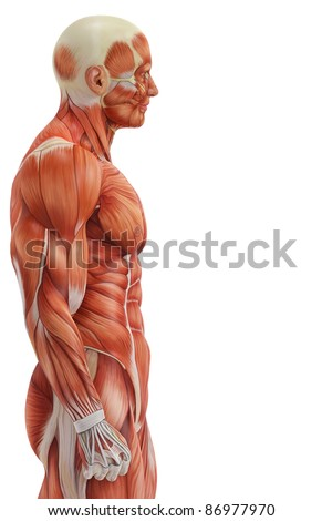 muscle man side view - stock photo