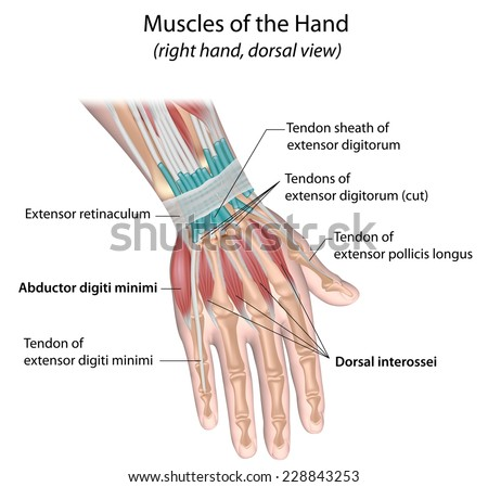 Muscles of hand, dorsal view, labeled. - stock photo