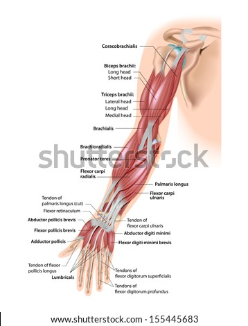 Muscles of the arm anterior labeled - stock photo
