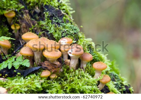 Mushroom a honey agaric - stock photo