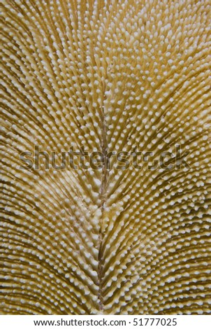 Mushroom coral (Fungia scruposa) showing its' natural pattern in detail. Marsa Bareika, Red Sea, Egypt. - stock photo