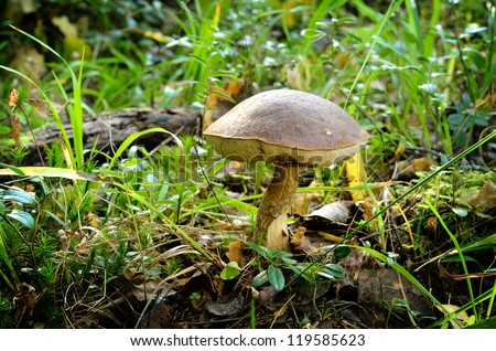 mushroom in forest - stock photo