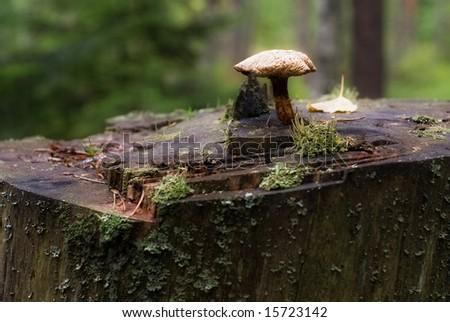 mushroom on stump - stock photo