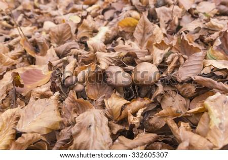 mushrooms autumn leaves, forest - stock photo