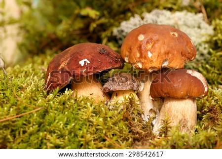Mushrooms Bolete, fungus in the wild , Boletus pinophilus. - stock photo