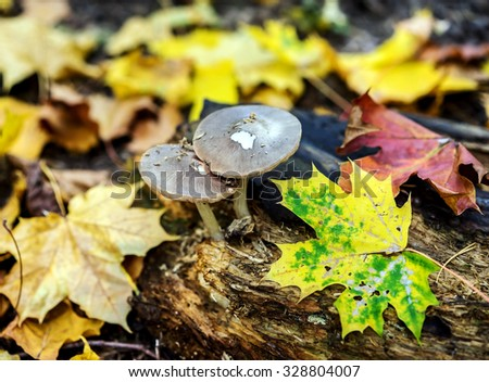 Mushrooms growing on rotten stump and colorful leaves in the autumn forest - stock photo