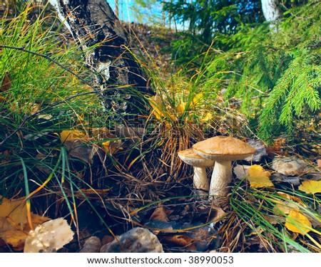 Mushrooms in autumn forest - stock photo