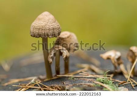 Mushrooms on stump macro - stock photo