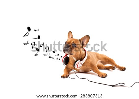 Music dog - Brown French bulldog with headphones - stock photo