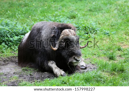 musk ox - stock photo