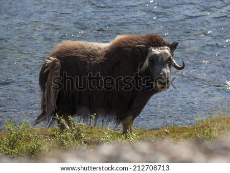 Musk ox by river in arctic valley, Greenland - stock photo
