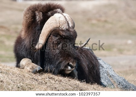 Musk Ox from Canada resting with the sun - stock photo