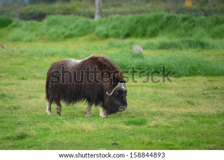 musk ox in alaska - stock photo