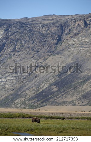 Musk ox in arctic valley, Greenland - stock photo