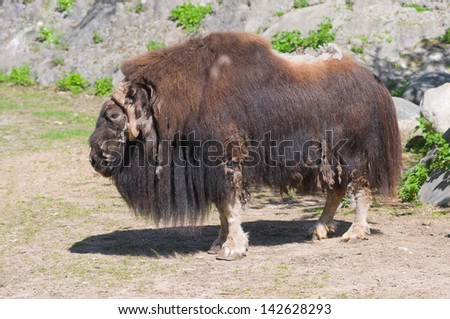 Musk ox, or musk-ox (Latin Ovibos moschatus) - the only member of the genus modern muskoxen (Ovibos) from the family of bovids. - stock photo