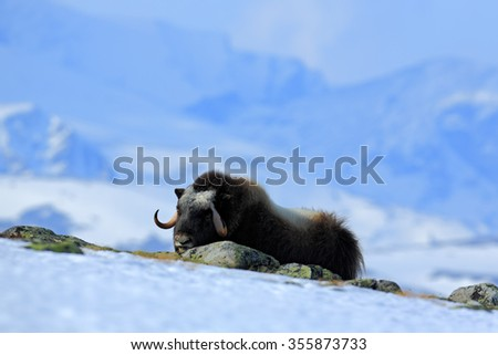 Musk Ox, Ovibos moschatus, with mountain Snoheta in the background,  big animal in the nature habitat, Dovrefjellâ??Sunndalsfjella National Park, Norway  - stock photo