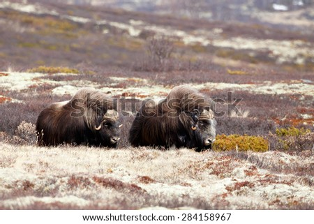Musk oxes on Dovrjefell mountains in Norway - stock photo