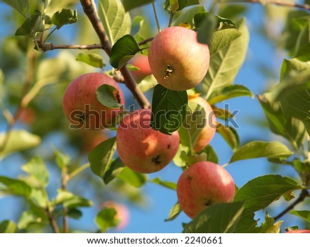 Muskoka Apples - stock photo