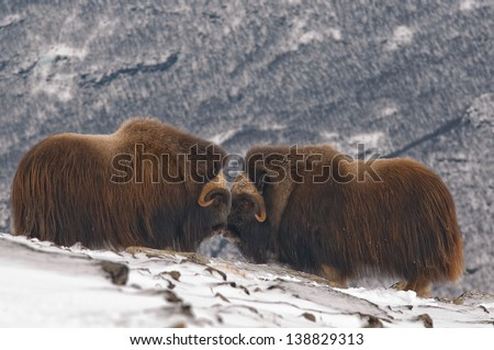 Muskox in a snowlandscape - stock photo