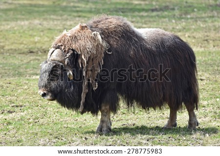 Muskox (Ovibos moschatus) standing in the sun on a grass field at springtime - stock photo