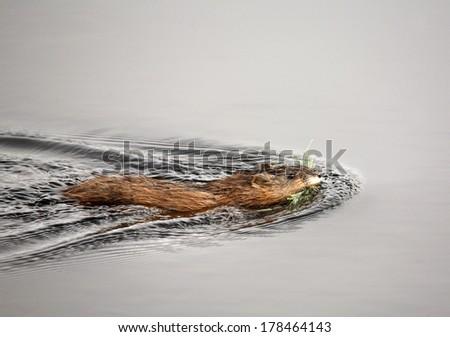 Muskrat or Musquash (Ondatra zibethicus)  - stock photo