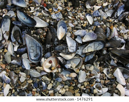 Mussel Shells on Beach - stock photo