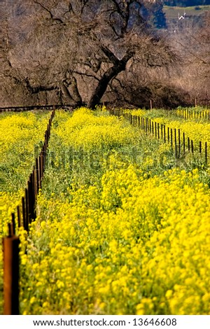 Mustard blooming in the rows of a vineyard in California's Napa Valley - stock photo