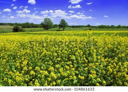 Mustard field against a blue sky - beautiful landscape - stock photo