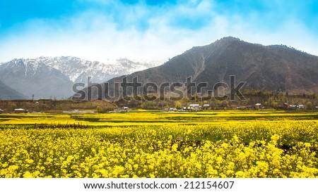 Mustard field with Himalaya background (Kashmir, India) - stock photo