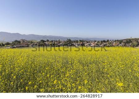 Mustard flower spring meadow in suburban Simi Valley near Los Angeles, California. - stock photo